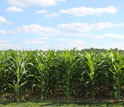Image of a field of corn.