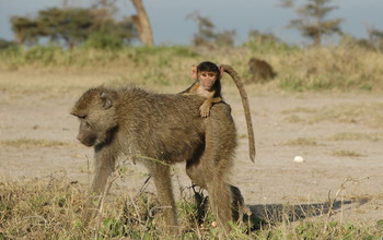 A four-month-old infant baboon rides on its mother's back in Amboseli, Kenya.