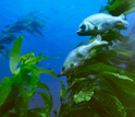 Photo of fish and a kelp forest.
