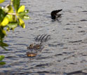 Photo of an alligator in Florida's Shark River.