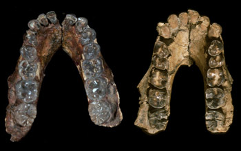 Mandibles of Australopithecus anamensis (left) from Kenya and A. afarensis from Ethiopia.