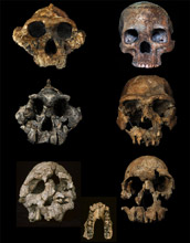 Skulls of hominins from the Turkana Basin; they show evidence of hominin dietary changes.