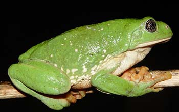 Mexican leaf frog