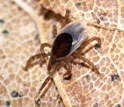 A nymphal blacklegged tick on leaf litter