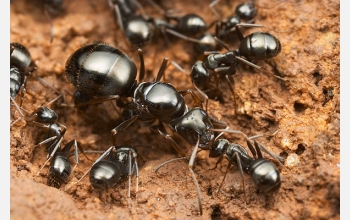 The ant group formicoide is among the most ancient.