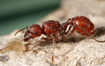Image of a red harvester ant, Pogonomyrmex barbatus.