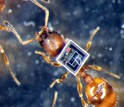 ant with a microchip