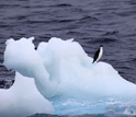 Photo of a lone Adelie penguin near the Antarctic coast.