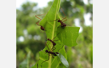 Photo of leaf-cutter ants on a leaf.