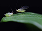 winged and wingless pea aphids