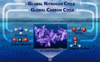 Researchers discovered that Archaea may play a key role in global nitrogen and carbon cycling.