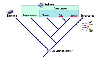 The Tree of Life is currently divided into three kingdoms, bacteria, archaea and eukaryotes.