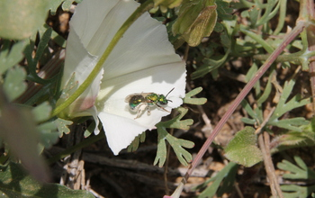 Green sweat bee or 'peridot bee'