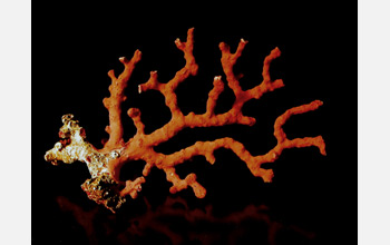 Photo of a deep-sea coral.