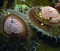 Photo of Antarctic limpet Nacella concinna with coralline red algae.