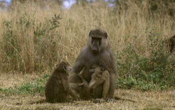 photo of adult and two juvenile baboons