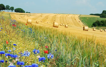 Image of wheat field with rolls of hey and poppies