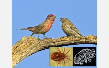 A mated pair of house finches (Carpodacus mexicanus) and the mites that infest their nests