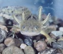 Barred Tiger Salamander larva