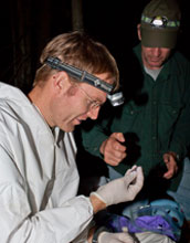 Photo of scientist Marm Kilpatrick holding a little brown bat with another researcher in background.