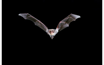 Photo of a bat in flight.