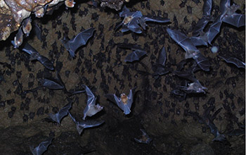 Photo of multiple bats in a cave in Trinidad.