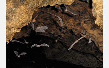 Photo of several species of bats flying together in a cave.
