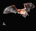 Photo of a bat pursuing a moth.