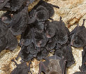 Photo of bats on a cave wall.