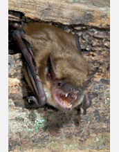 Photo of a big brown bat, Eptesicus fuscus, on a cave wall.