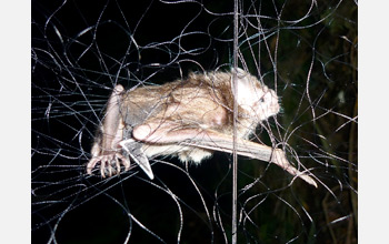 Photo of a common vampire bat, Desmodus rotundus, captured in a mist net.