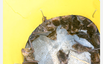 Photo of bats captured for sampling in a bucket trap.