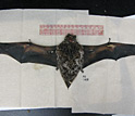 Photo of a bat pinned for measurement of its wing area.
