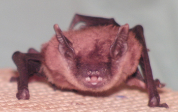 A bat emitting sounds.