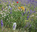 Photo of field with bagged flowers of tall larkspur