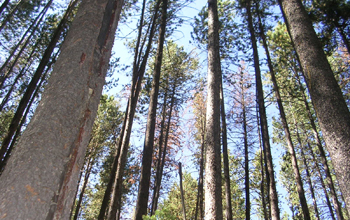 Photo of a lodgepole pine forest.