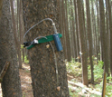 Photo of a sampling device on a bark beetle-infested lodgepole pine tree.