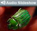 Photo of green jewel beetle and the words Audio Slideshow.