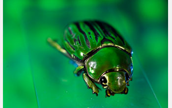 Photograph of a jewel beetle.