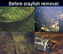 Four underwater scenes with text, before crayfish removal