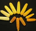 Corn used in studies of genetic factors associated with levels of vitamin A precursors in corn.
