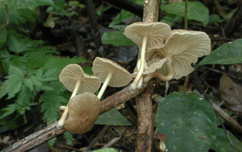 Photo of Marasmius, a fungus in the tropical rainforest of Belize.
