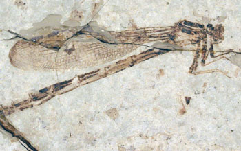 Fossilized damselfly from the 34-million-year-old Florissant Formation of Colorado.