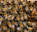 Photo of honeybee workers and their queen buzzing on a bee hive.