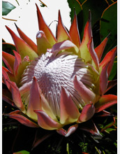 Photo of the giant, colorful bloom of a Protea flower.