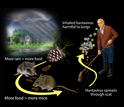 Illustration showing how food and rain lead to more mice and hantavirus and inhalation of virus.