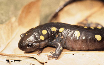 Spotted salamander on a leaf