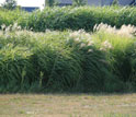 Photo of the bioenergy crops switchgrass and miscanthus.