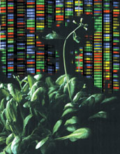 the plant Arabidopsis thaliana and background representing DNA sequence