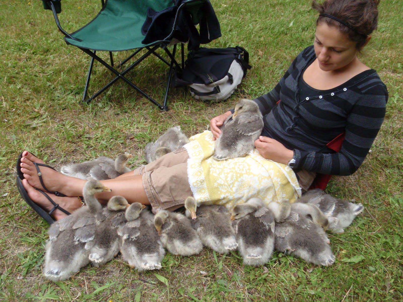 Meir is surrounded by all 12 of her imprinted gosslings.